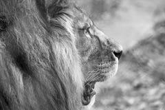Perfil da cabeça do leão com juba Fotografado no monochrome no porto Lympne Safari Park perto de Ashford Kent Reino Unido foto de stock royalty free