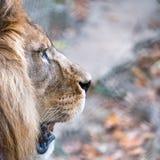 Perfil da cabeça do leão com juba no formato quadrado Fotografado em Lympne portuário Safari Park, Ashford Kent Reino Unido fotografia de stock