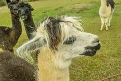 Perfil da cara da alpaca Imagem de Stock