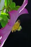 Perfil da flor do Clematis Imagem de Stock Royalty Free