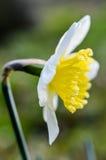 Perfil da flor do narciso Fotos de Stock Royalty Free