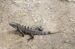 Perfil da iguana Fotos de Stock Royalty Free