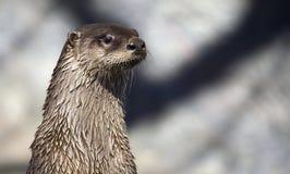 Perfil da lontra de rio Fotos de Stock Royalty Free
