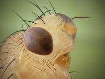 Perfil da mosca de fruta fotografia de stock royalty free