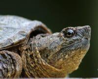 Perfil da tartaruga de agarramento Fotos de Stock Royalty Free