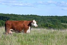 Perfil da vaca votada vermelha do hereford Fotos de Stock