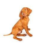 Perfil de assento do cachorrinho de Vizsla Imagens de Stock Royalty Free