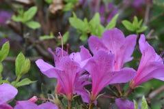Perfil de Azalea Flowering Bush cor-de-rosa em um dia de mola imagens de stock