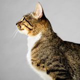 Perfil de Brown joven Tabby Cat en Gray Background Fotografía de archivo