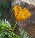 Perfil de Califórnia dourada Poppy Flower foto de stock