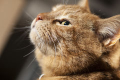 Perfil de Ginger Cat foto de archivo libre de regalías