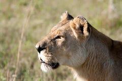 Perfil de Headshot de la leona foto de archivo