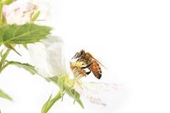 Perfil de Honey Bee Blackberry Flower Fotografía de archivo libre de regalías