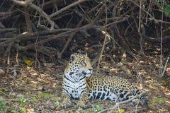 Perfil de Jaguar que miente en Forest Floor Foto de archivo