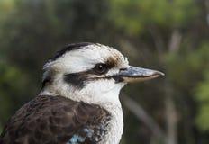 Perfil de Kookaburra Fotos de Stock Royalty Free