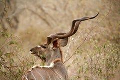 Perfil de Kudu fotos de archivo