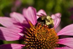 Perfil de la abeja en la taza del cierre del flujo del Echinacea Imágenes de archivo libres de regalías