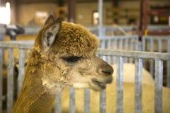 Perfil de la alpaca Imagenes de archivo