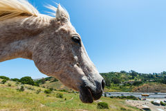 Perfil de la cabeza de caballo blanco en campo de la ladera Imagen de archivo libre de regalías