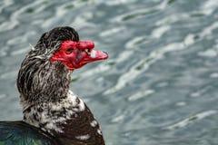 Perfil de la cabeza del pato con el pico rojo Imagen de archivo
