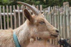 perfil de la cabra Fotografía de archivo