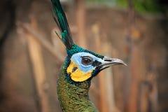 Perfil de la cara lateral del pavo real Imagenes de archivo