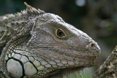 Perfil de la iguana Fotos de archivo
