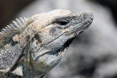 Perfil de la iguana Fotografía de archivo