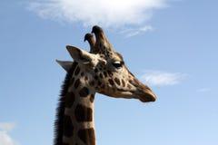Perfil de la jirafa Fotos de archivo libres de regalías