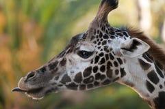 Perfil de la jirafa Fotos de archivo
