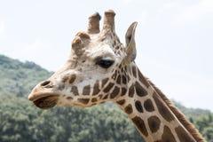 Perfil de la jirafa Foto de archivo libre de regalías
