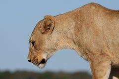 Perfil de la leona Fotos de archivo