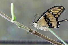 Perfil de la mariposa Imagen de archivo libre de regalías