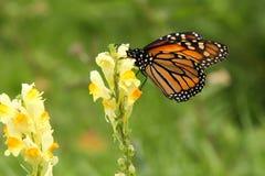Perfil de la mariposa de monarca en wildflower amarillo Fotos de archivo