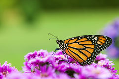 Perfil de la mariposa de monarca Fotografía de archivo libre de regalías
