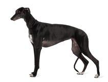 Perfil de la situación del perro del galgo Imagenes de archivo