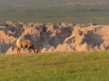 Perfil de las ovejas de Bighorn que comen la hierba imagen de archivo