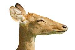 Perfil de los ciervos Foto de archivo libre de regalías
