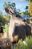 Perfil de los ciervos de mula Foto de archivo libre de regalías