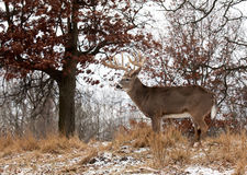 Perfil de los ciervos de whitetail Fotografía de archivo libre de regalías