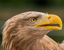 Perfil de um albicilla do Haliaeetus da águia de mar fotos de stock
