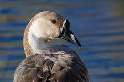 Perfil de um ganso chinês novo nas águas de uma lagoa calma Imagem de Stock Royalty Free
