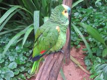 Perfil de um papagaio em Brasil Fotografia de Stock