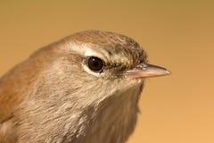 Perfil de um pássaro selvagem pequeno Fotos de Stock