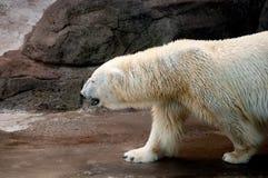 Perfil de um urso polar de passeio fotografia de stock