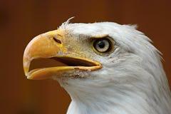 Perfil de uma águia calva (albicilla do Haliaeetus) Foto de Stock Royalty Free