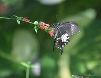 Perfil de uma borboleta de Swallowtail em flores vermelhas minúsculas foto de stock royalty free