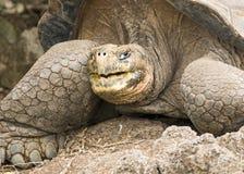 Perfil de uma tartaruga de Galápagos imagens de stock royalty free