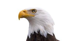 Perfil de un águila calva aislada en blanco imagen de archivo libre de regalías