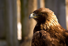 Perfil de un águila de oro (chrysaetos de Aquila) foto de archivo